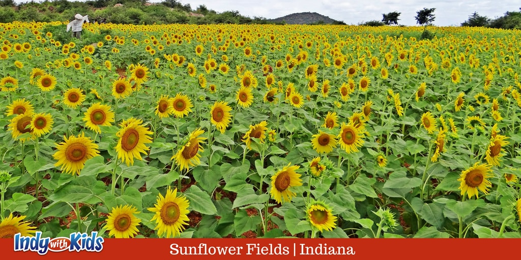 Sunflower Festival | Acres and Acres of Sunflowers